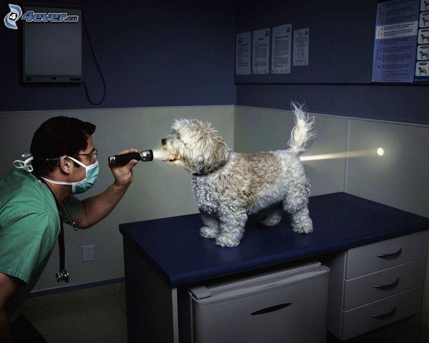 ljus, hund, veterinär, ficklampa