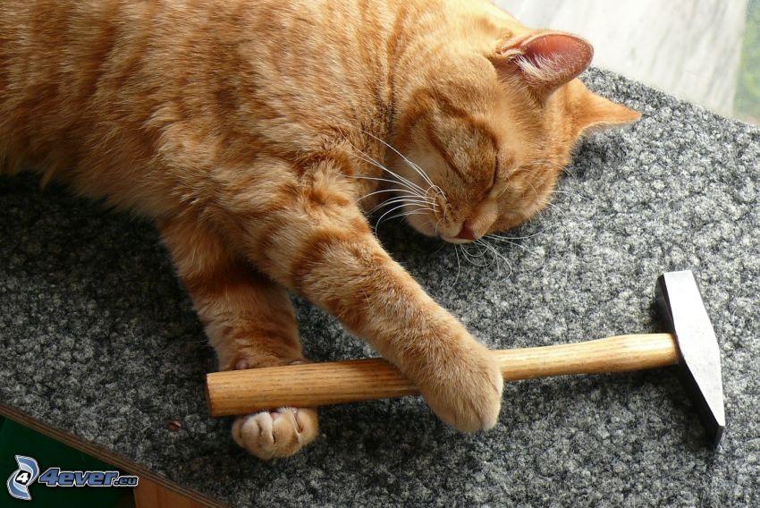 randig katt, hammare