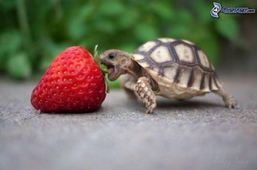 sköldpadda, jordgubbe