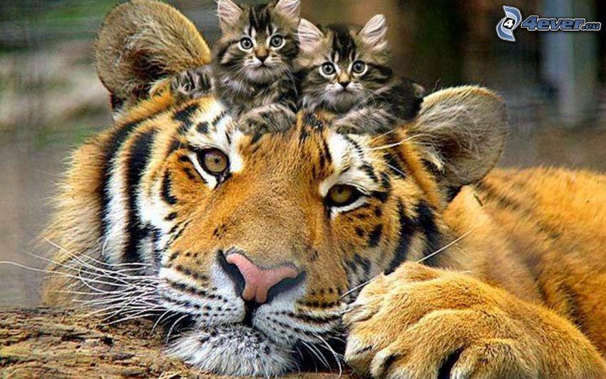 tiger, kattungar