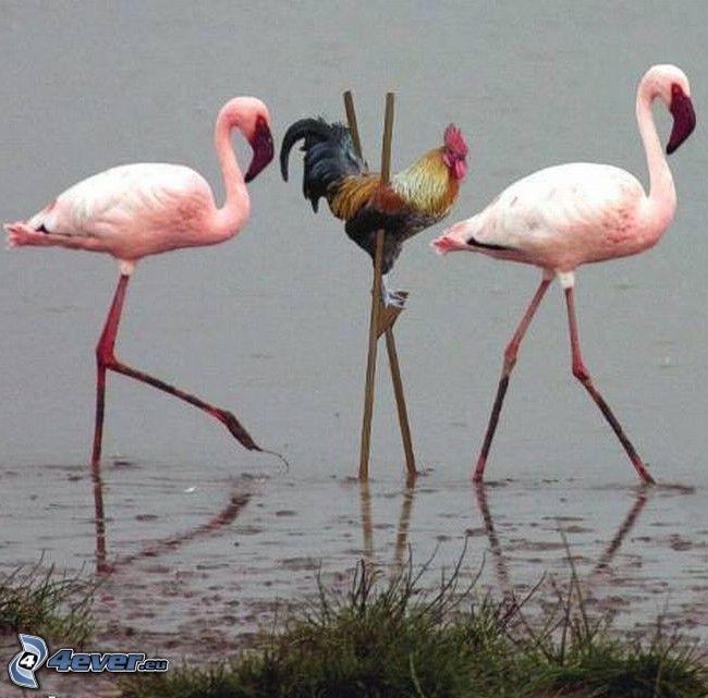 tupp, styltor, flamingos