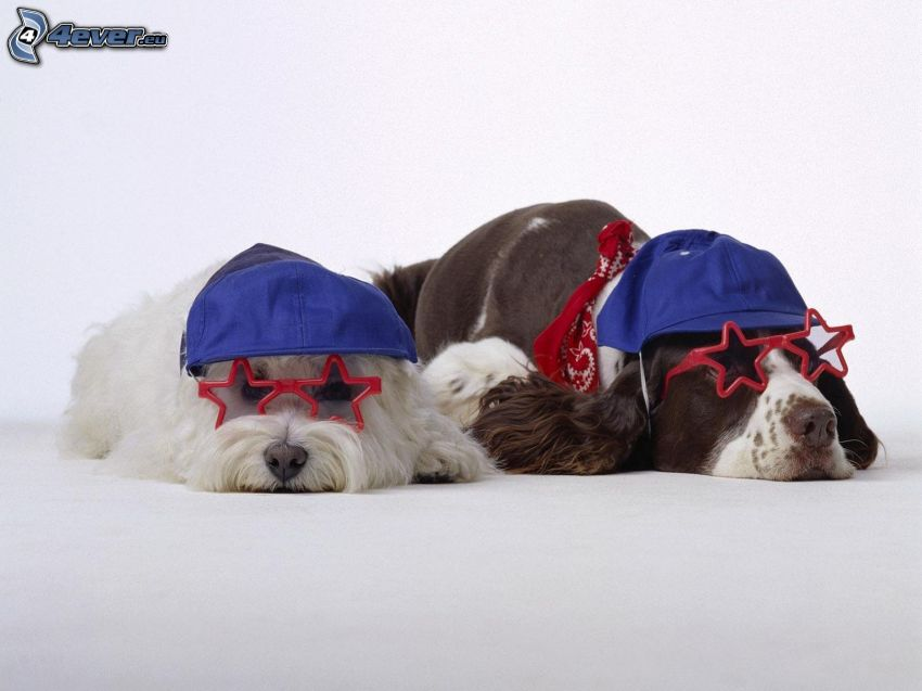 två hundar, glasögon, kepsar
