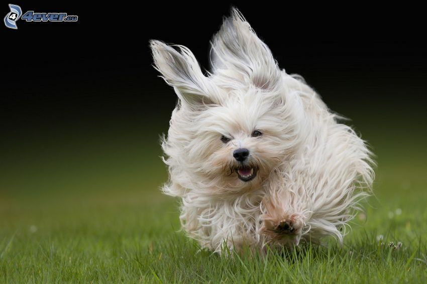 vit hund, springa, päls