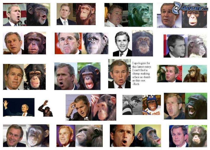 George Bush, schimpans, ansikten, liknelse