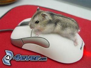 hamster, mus