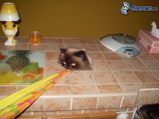hårig katt, kök