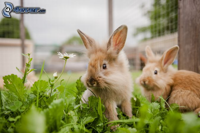 conejitos, hierba