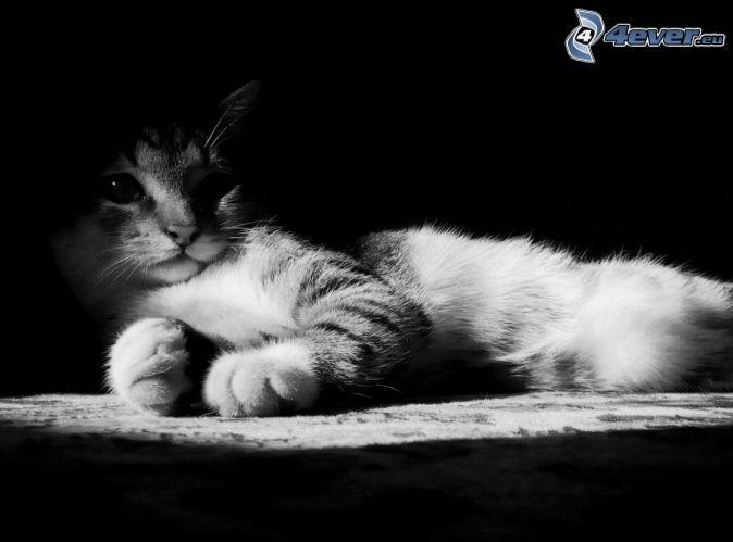 gatito, blanco y negro