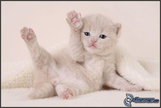 gatito-blanco,-manta,-ojos-azules-139381.jpg (674×453)