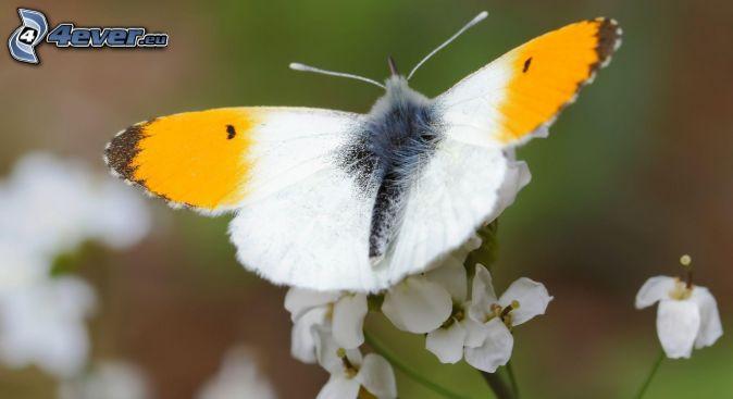 mariposa sobre una flor, flores blancas
