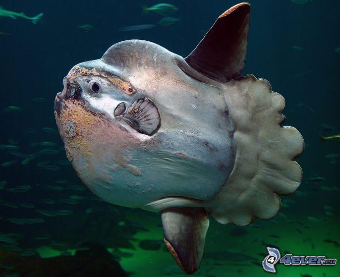 pez luna, banco de peces