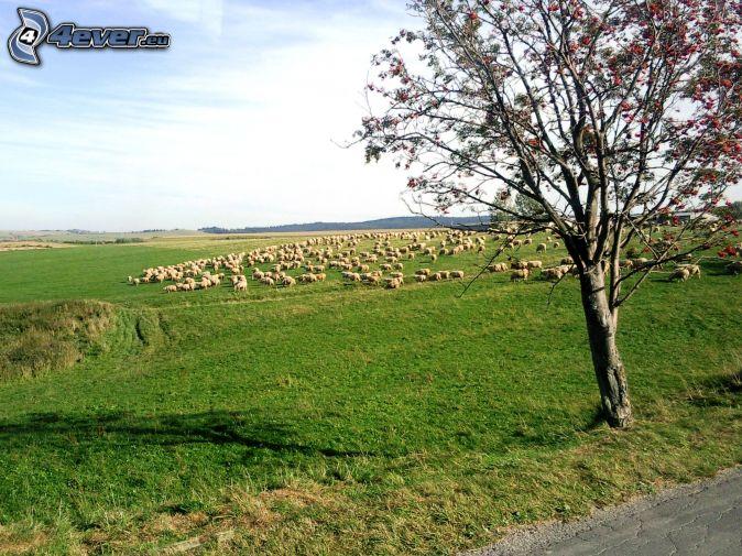 ovejas, prado verde