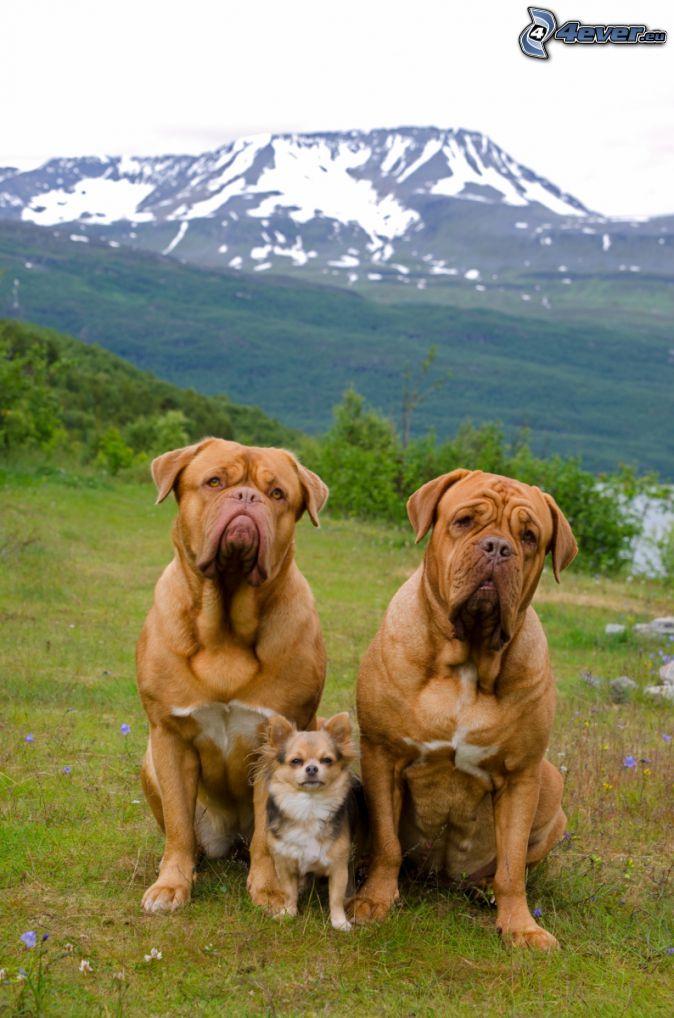 Dogo de Burdeos, terrier, montaña nevada