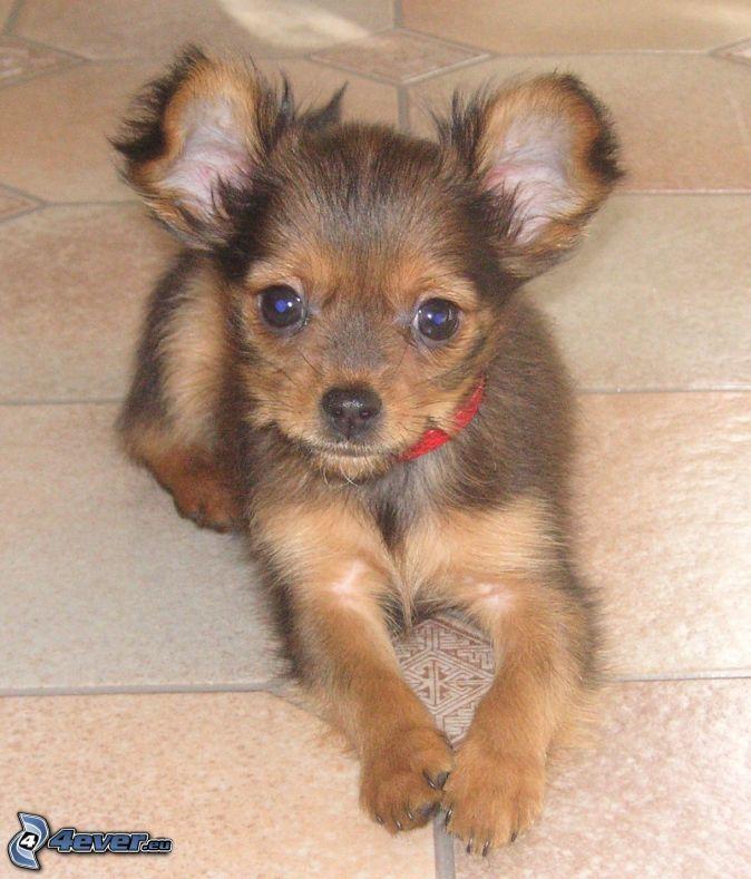 Pinscher miniatura, cachorro