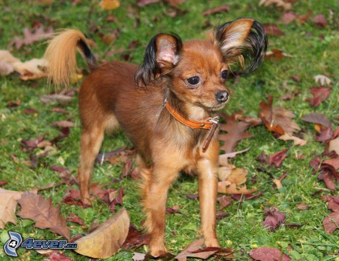 Pinscher miniatura, hojas de otoño