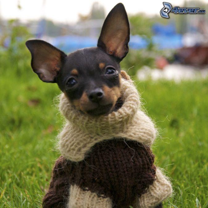Pinscher miniatura, suéter
