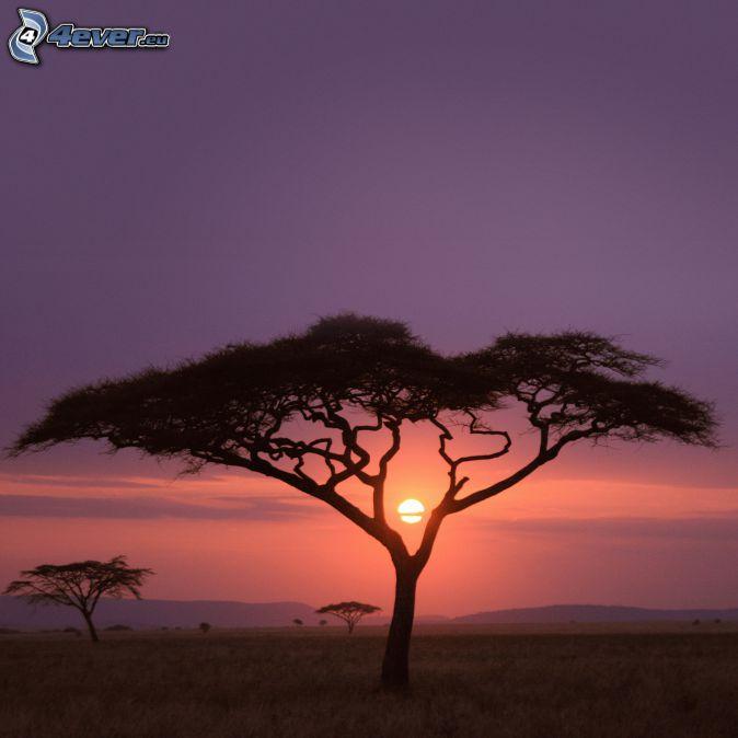 siluetas de los árboles, Safari, cielo púrpura, puesta del sol
