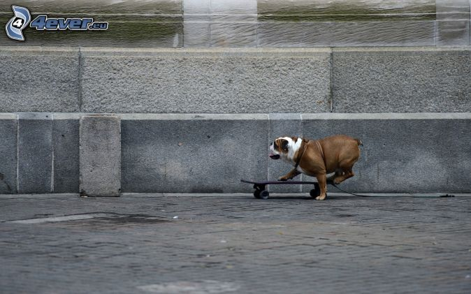 Bulldog Inglés, skateboard