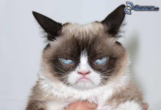 gato, mirada, ojos azules