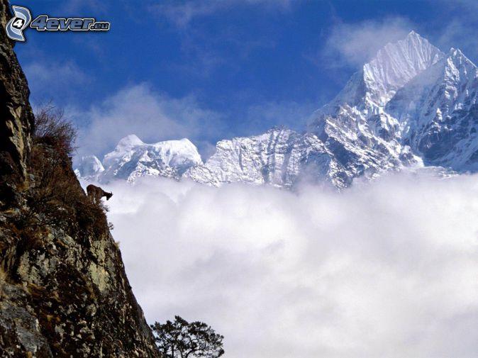 Mount Wilber, montaña nevada, gamuza