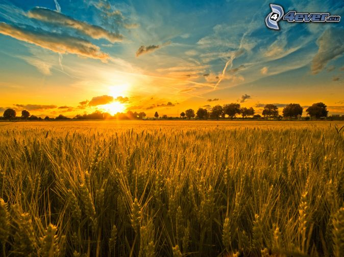 Wheat Fields and Sunset