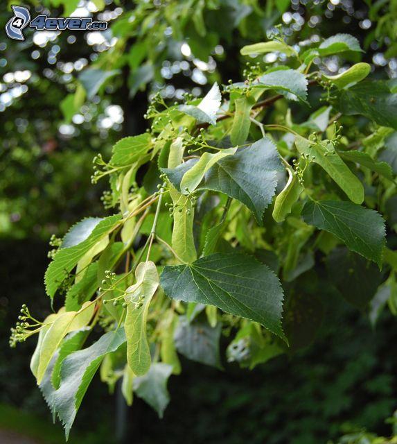cal, hojas verdes, rama