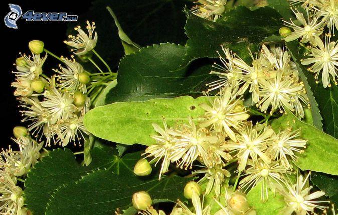 cal, hojas verdes