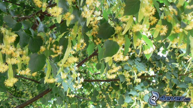 cal, ramas, hojas verdes