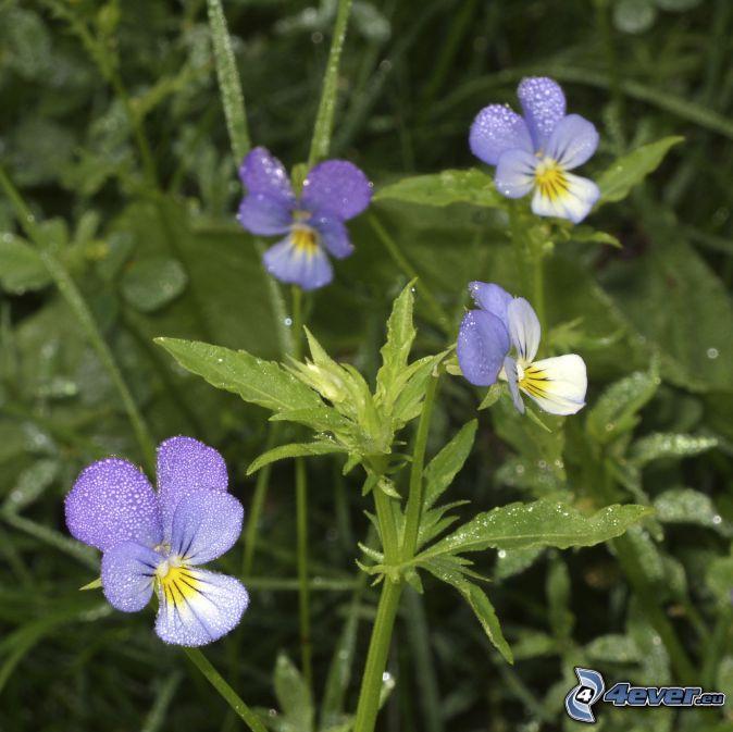 flor de la trinidad, flores de color azul, paja de hierba
