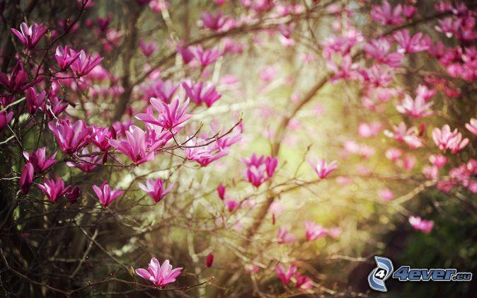 la floración de árboles, flores de color rosa