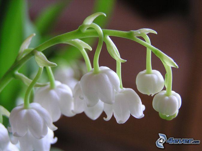 lirio de los valles, flores blancas