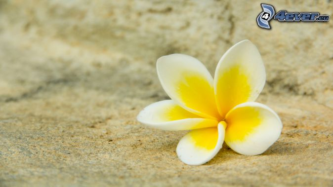 plumeria, flor amarilla