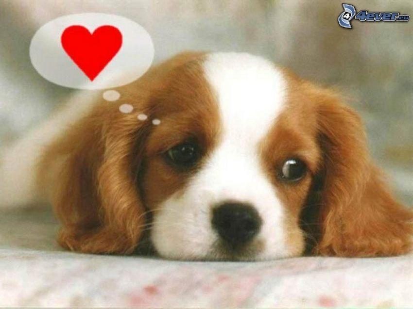 Cavalier King Charles Spaniel, perro triste, corazón