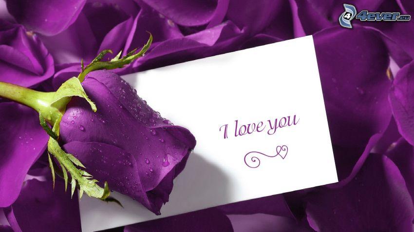 fialové ruže, I love you, mensaje