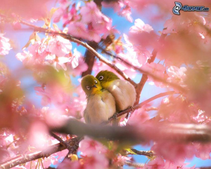 aves, pareja, árbol florido