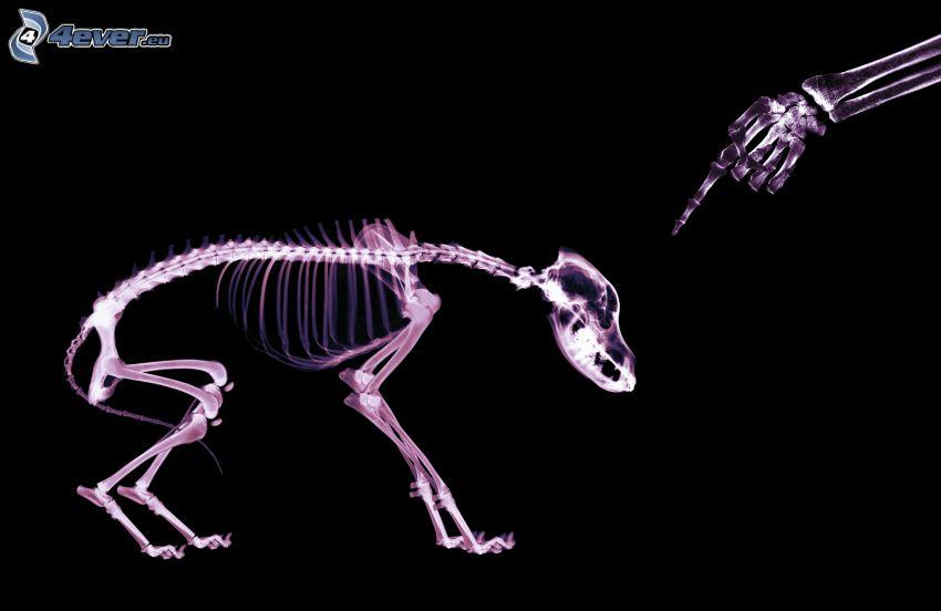esqueleto, perro, mano, dedo, Rayos X