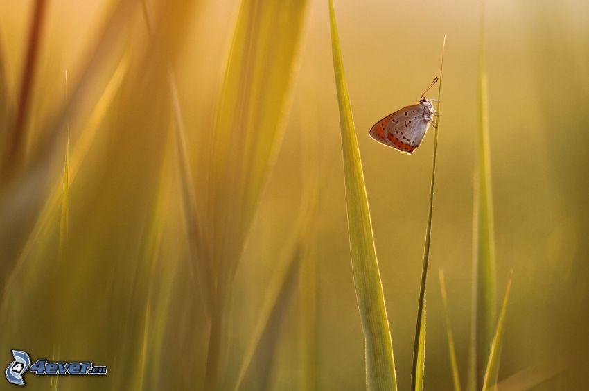 mariposa, hierba alta