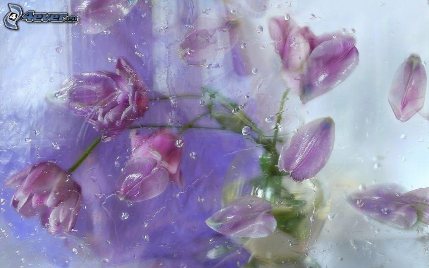tulipanes de color púrpura, gotas de agua