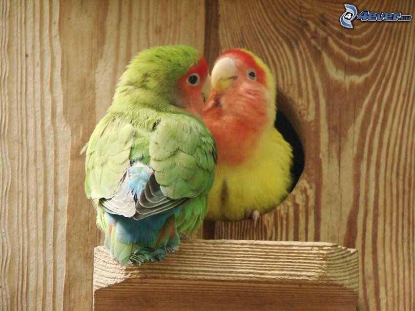 Agapornis, casita para aves