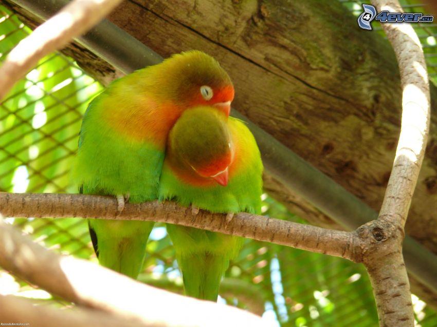 Agapornis, pareja, abrazar, ramas