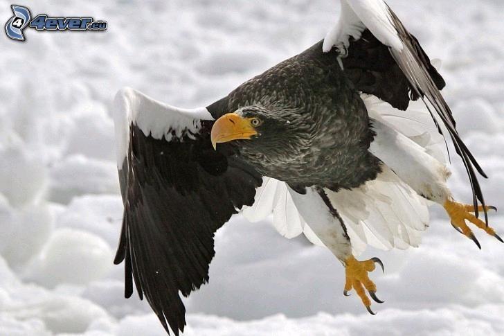 águila, alas, vuelo, nieve