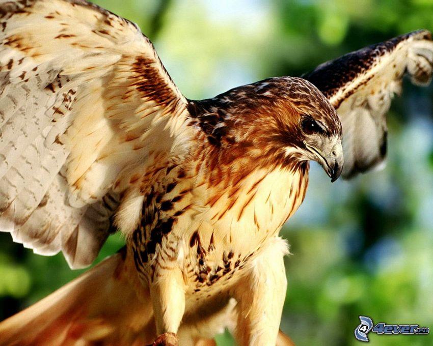 águila, alas
