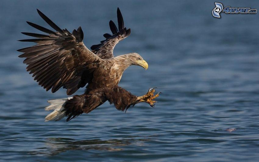 águila, aterrizaje, agua