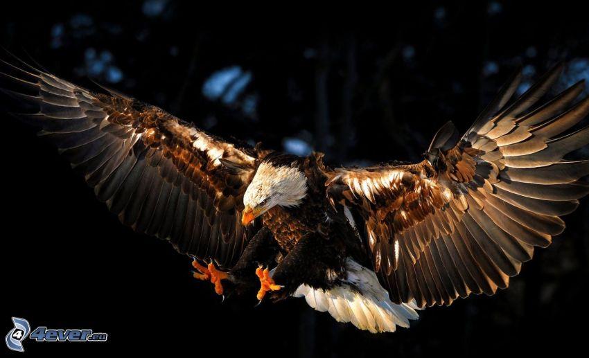 águila, aterrizaje, alas