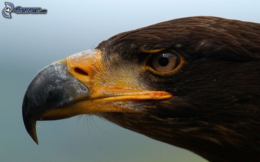 águila, cabeza, pico, ojo