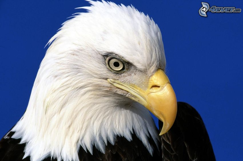 águila, cabeza