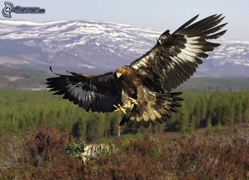 águila, caza, alas, cerro nevado