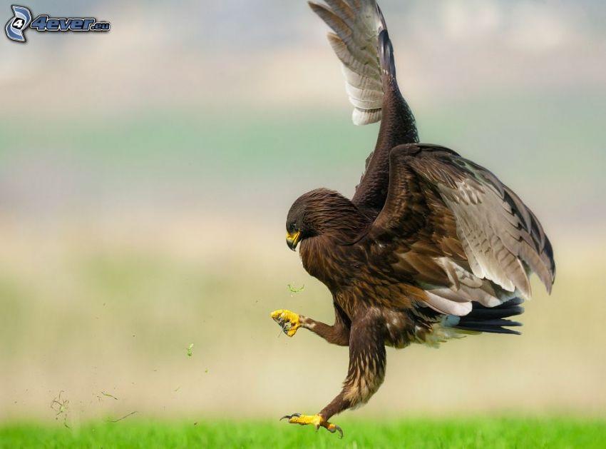 águila, caza, aterrizaje
