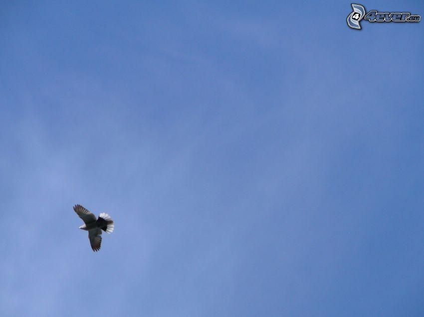 águila, cielo