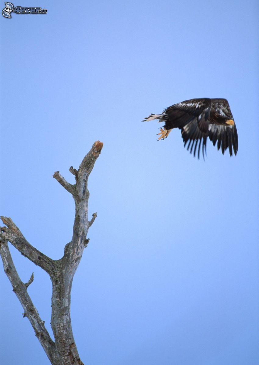 águila, despegue, madera